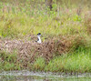 Black Necked Stilt - Yacht Basin Road, Bolivar Peninsula