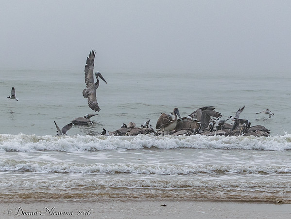 Brown Pelicans Feeding - Bolivar Flats area