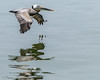 Brown Pelican - From the Ferry...