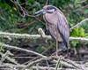 Immature Yellow Crowned Night Heron - Corp Woods, Galveston Island