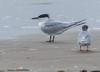 Sandwich Tern - Bolivar Flats area