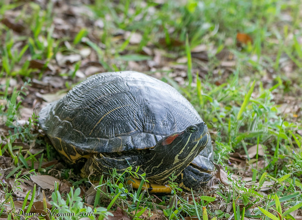 Red Eared Slider - Lafittes Cove