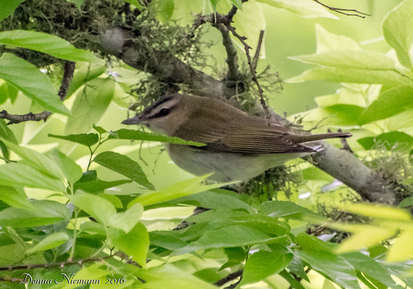 Red Eyed Vireo? - Corp Woods, Galveston Island