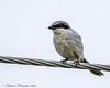Loggerhead Shrike - 8 Mile Rd