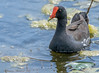 Common Gallinule (Common Moorhen) - Anahuac NWR