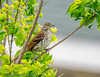 Brown Thrasher - Lafittes Cove