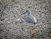 Greater Yellowlegs - Rettilon Road, Bolivar Peninsula