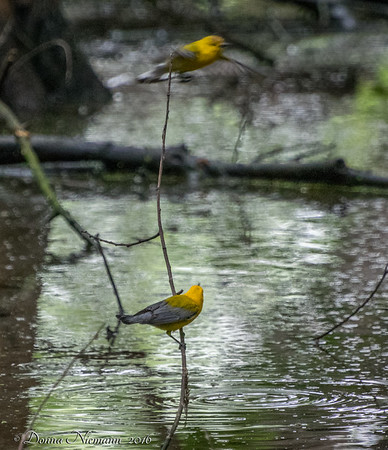 Prothonatary Warblers - Prothonatary Pond, Boy Scout Woods