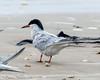 Forster's Tern? - Bolivar Flats area