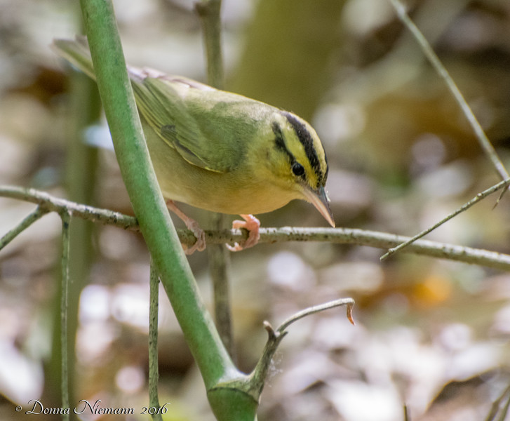 Worm-eating Warbler - Boy Scout Woods