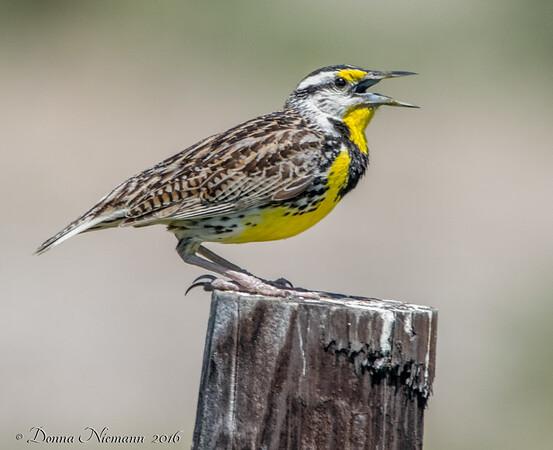 Meadowlark - Anahuac NWR