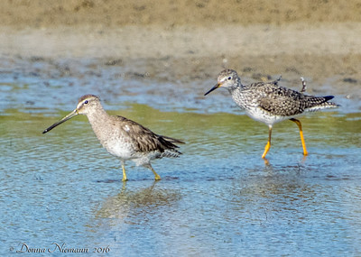 Long Billed Dowitcher (left),   Greater Yellowlegs (right),   Rettilon Rd, Bolivar Peninsula