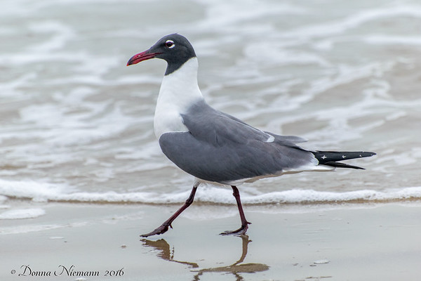 Laughing Gull? - Bolivar Flats area