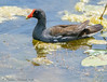 Common Gallinule - Anahuac NWR