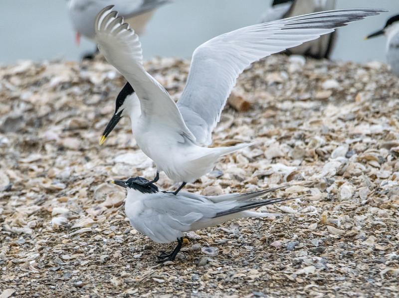 Sanwich tern