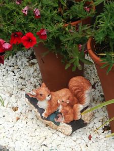 Gaeltacht squirrels
