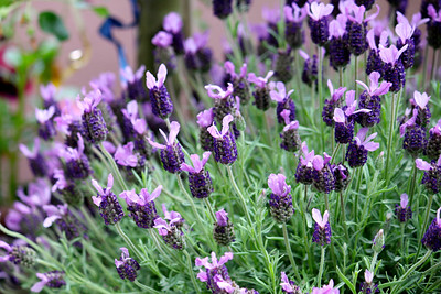 Gisela's lavender on the balcony