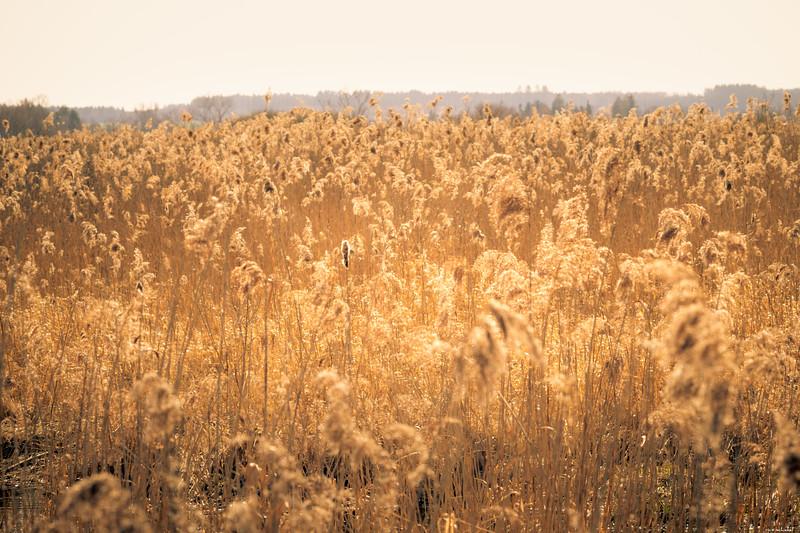 Golden stalks
