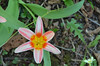 Species tulips