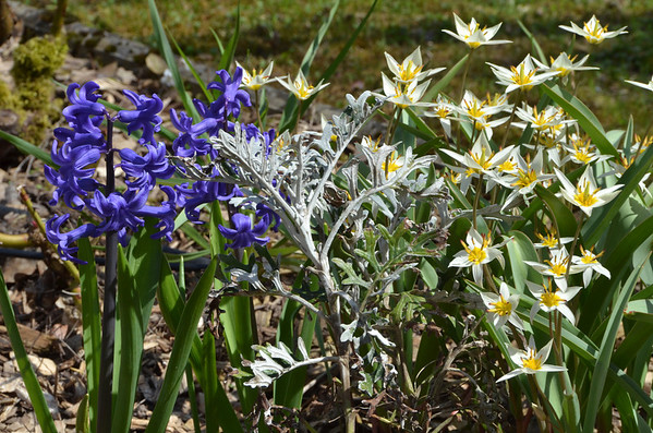 Hyacinths, Dusty Miller and species tulips