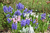 Hyacinth and Dusty Miller