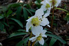 Gingins, garden and flowers at various seasons.  Rose de Noël / Lenten Rose.