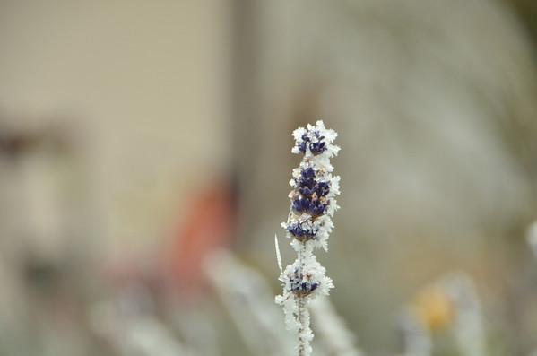 Hoar frost from freezing fog, mid-December 2013, Gingins.<br /><br />Lavender