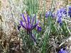 Snow Iris (Iris latifolia), Gingins, Switzerland