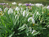 Snowdrops, Perce-neige (Galanthus nivalis), Gingins, Switzerland