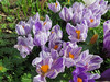 Crocus, Gingins, Switzerland