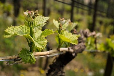 Frühling - der Wein beginnt! / Springtime - the vine starts!