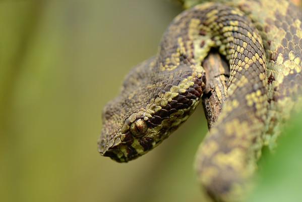 Malabar Pit Viper