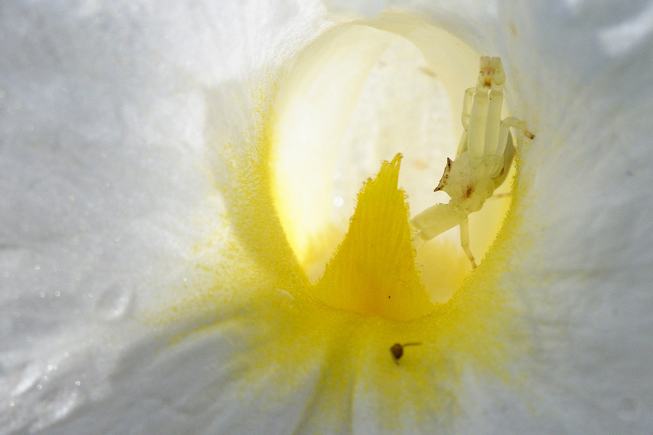Crab Spider stealthily awaits its prey...