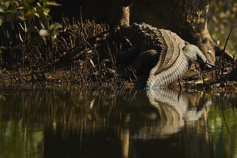 The Mugger - Marsh Crocodile