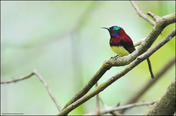 Crimson-backed sunbird