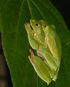 Malabar Gliding Frogs