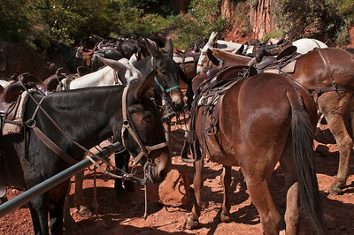 Mules, Grand Canyon National Park - North Rim, Arizona
