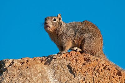 Rock Squirrel, Grand Canyon National Park - South Rim, AZ