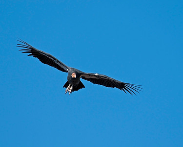 California Condor, Grand Canyon National Park - South Rim, AZ