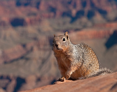 Rock Squirrel, Grand Canyon National Park - South Rim, AZ