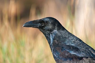 Raven, Grand Canyon National Park - South Rim, AZ