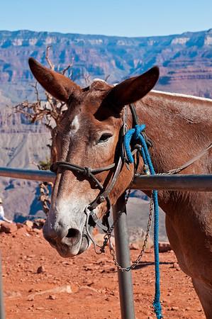 Mule, Grand Canyon National Park - South Rim, AZ