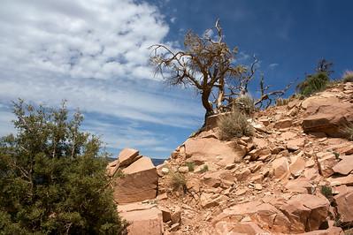 Tree at South Kaibab