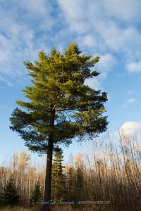 Tall pine amonst the poplars