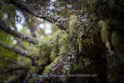 Thick moss over down pine...