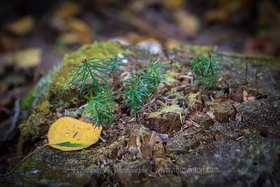 Tiny seedling nurtured by dead stump