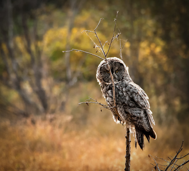 Grey Owl, Grand Teton National Park