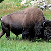 Buffalo,  Yellowstone National Park.
