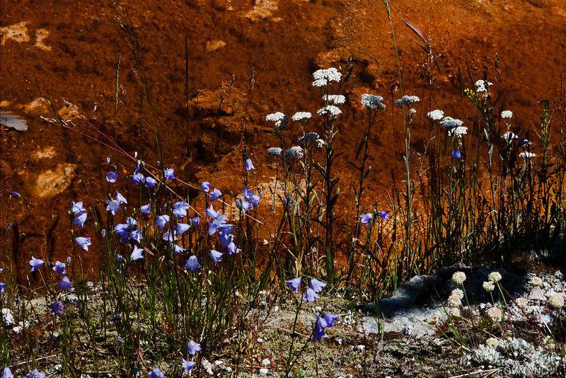 Flowers against the background of a thermal pool,  Yellowstone National Park.