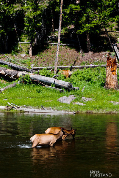 Elk crossing the Madison River,  Yellowstone National Park.